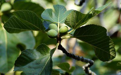 Кои се лековити својства на лисјата од смоква?