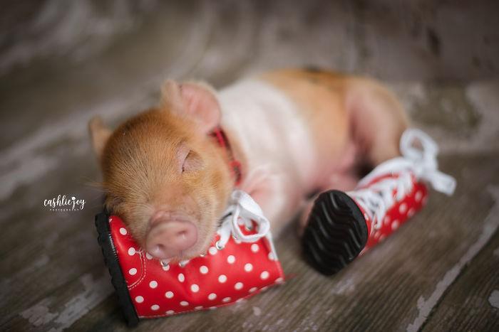 Слатка фотосесија на бебе прасе кое ќе ви го разубави денот
