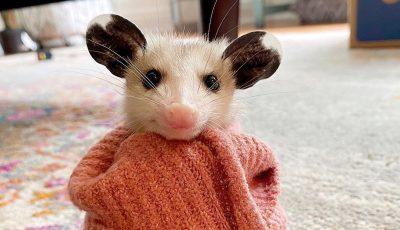 """20 слатки фотографии од опосуми што ќе ве убедат дека не се толку """"страшни штетници"""""""