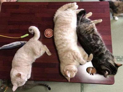 Нова туристичка атракција во Јапонија: Гостилница нуди дружење со мачки