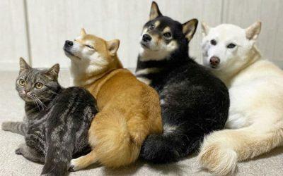 Симпатична мачка мисли дека е куче како нејзините Шиба Ину браќа и сестри