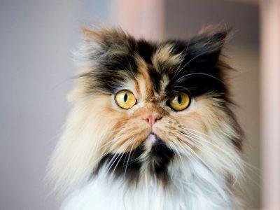 Занимливости за тробојните мачки што ги прават овие убавици уште поинтересни