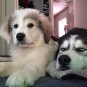 """20 фотографии од кучиња чиј живот бил """"уништен"""" откако добиле брат или сестра"""