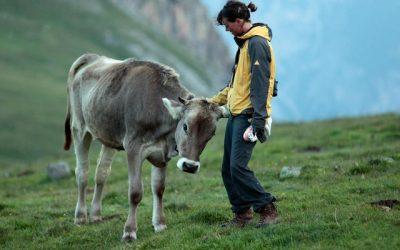 Гушкањето крави е новиот светски тренд
