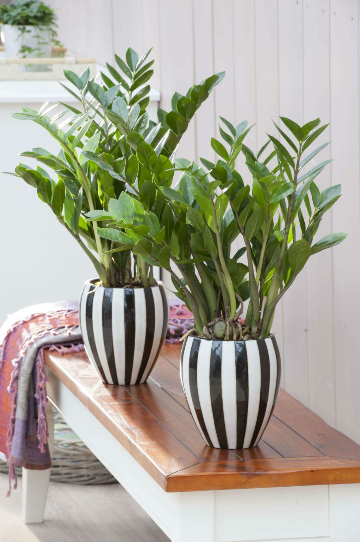 Замија - растение што им успева на сите