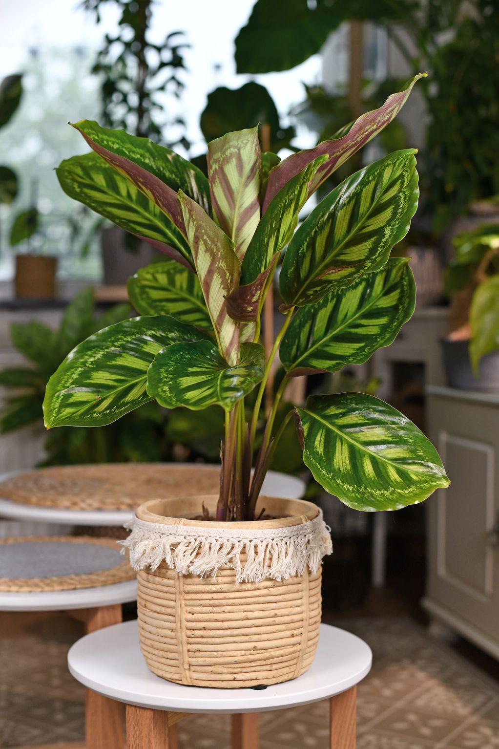 Калатеа - прекрасна тропска убавица што ќе ви возврати за посветеното внимание