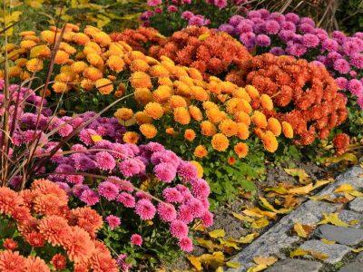 Лесно се одгледуваат, им успеваат на сите: Најубавите есенски цвеќиња