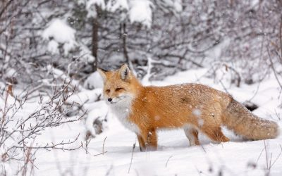 Како различни животни преживуваат од почетокот, па до последниот ден на зимата?
