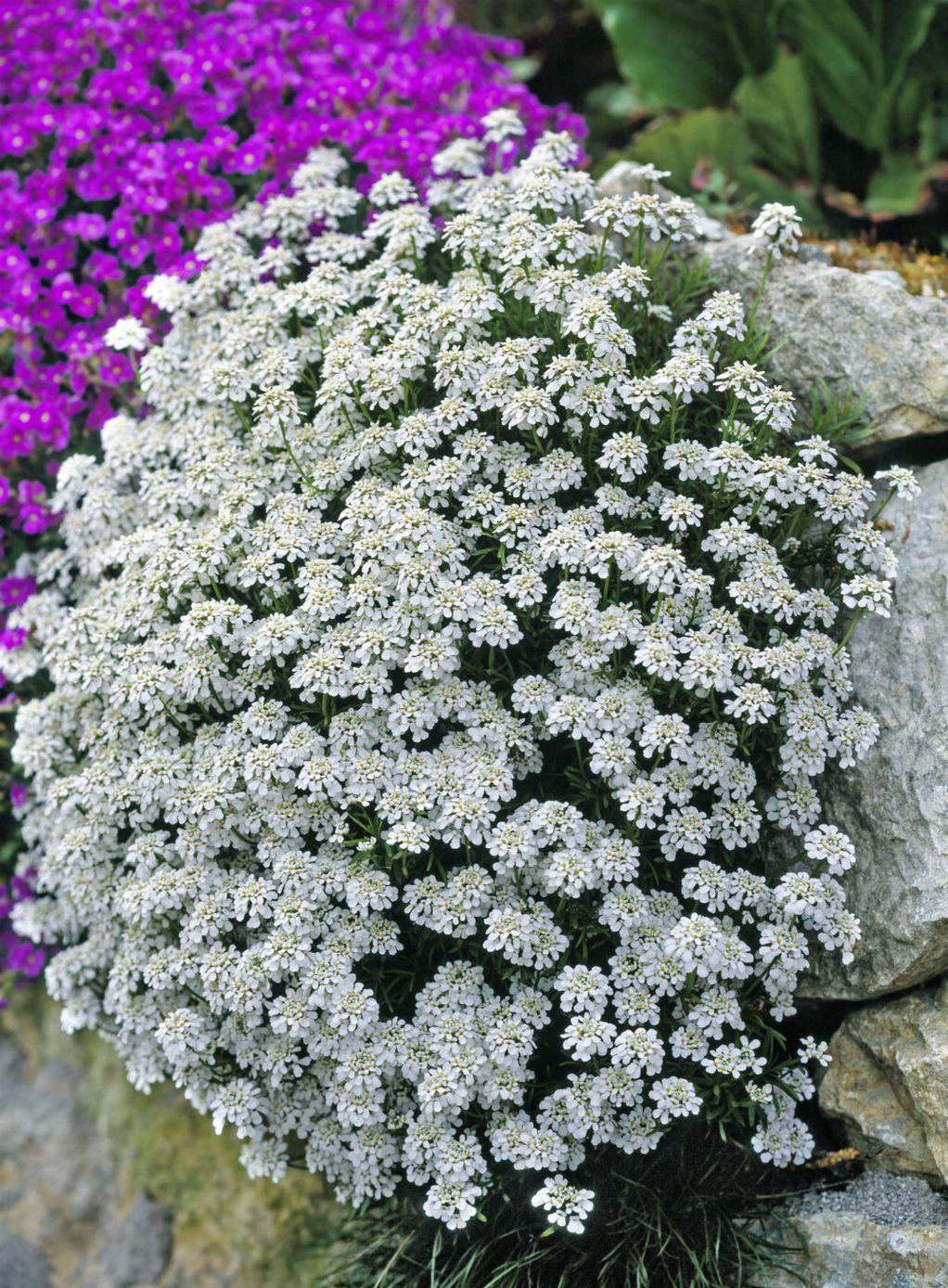 Иберис - отпорен цвет на кој не му пречи ниту температура од -15 Целзиусови степени