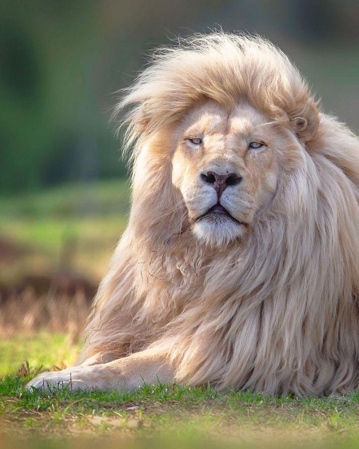 Фотограф ја овековечува убавината на белиот лав од секој агол