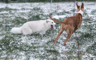 Погледнете како една поларна лисица спасена од фарма за крзно ужива во снегот за прв пат
