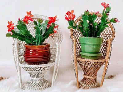Елката не е единствениот украс: Растенија што може да ги користите за празнично украсување на домот