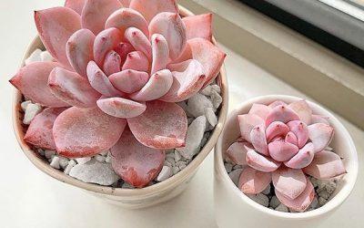 Прекрасен розов сукулент кој е познат и како планинска роза