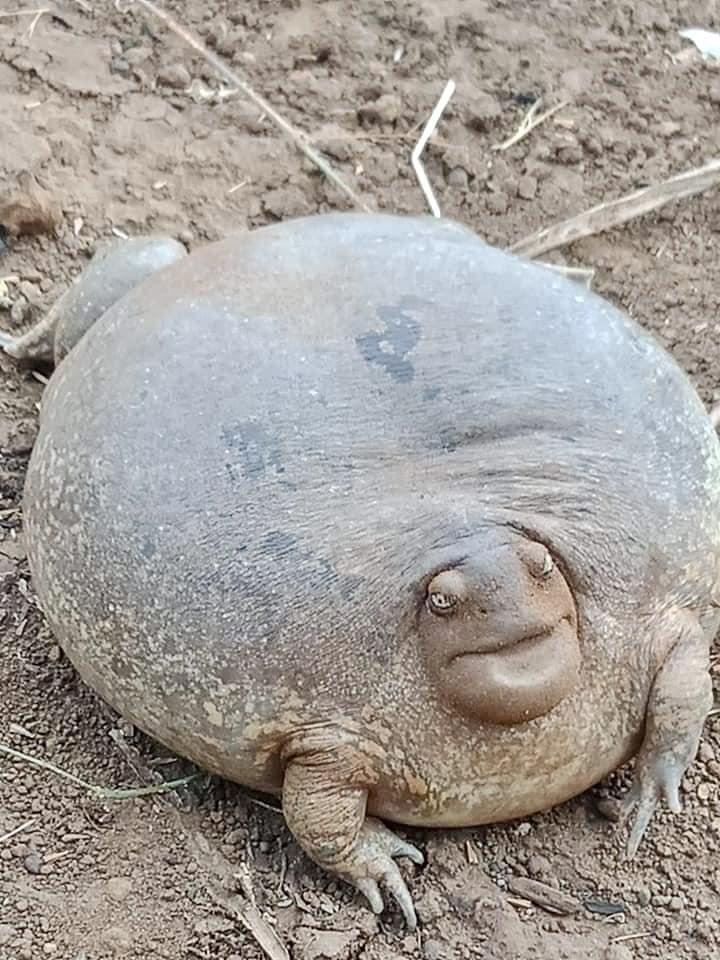 Оваа неверојатна жаба е толку голема што луѓето не веруваат дека е вистинска