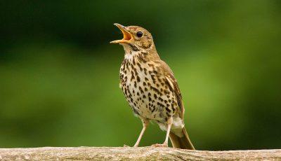 Дали знаете дека пеењето на птиците влијае на среќата на луѓето исто како и покачувањето на платата?