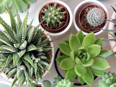 Најголемите грешки што ги правите при одгледувањето кактуси и други сукуленти