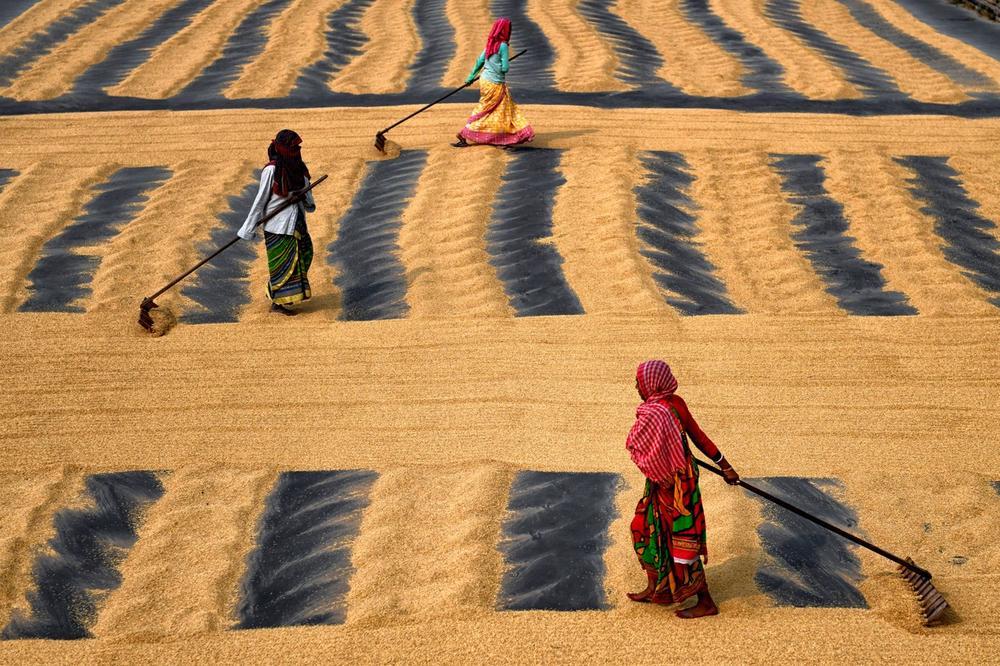 Еве како изгледа сушење ориз во Индија: Работа што му ја одзема сета сила на работникот
