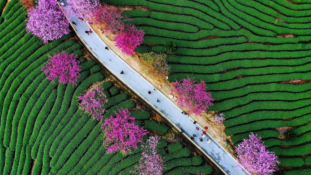 Пролет во Кина: Парк обоен со најубавите розови нијанси