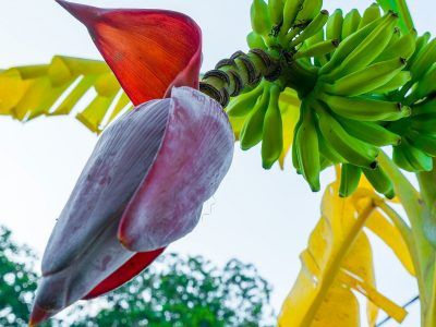 Ова растение е најздравата и највкусната веганска алтернатива на рибите