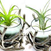 Тиландсија – растение на кое не му треба почва за раст и развој