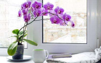 За повторно цветање: Пијалак што орхидеите го сакаат повеќе од водата
