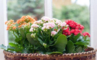 Каланхое: Прекрасно цвеќе што може да биде и совршен подарок
