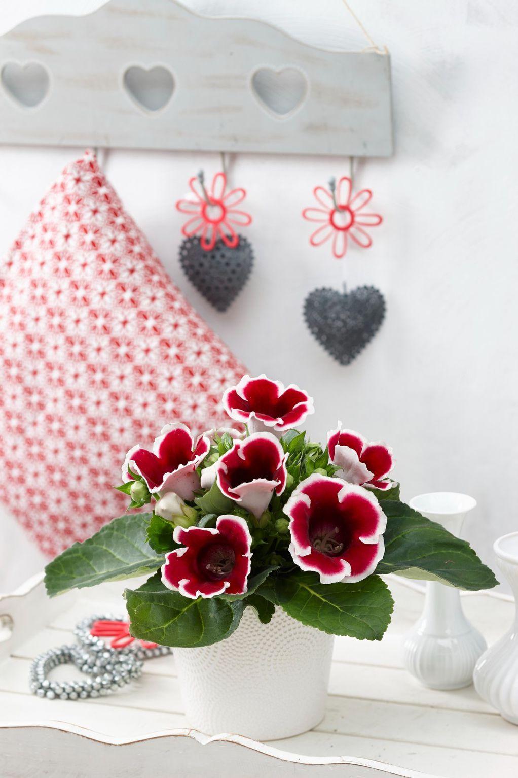 Глоксинија - цвет што ќе ве воодушеви на најубавиот можен начин