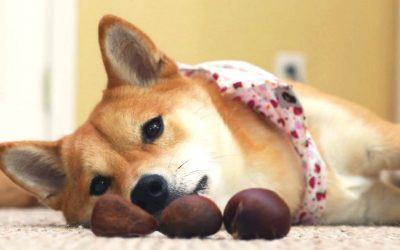 Какви јаткасти плодови смеат да јадат кучињата?