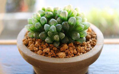 Дијамантски сукуленти: Растение со уникатен изглед што е лесно за одгледување