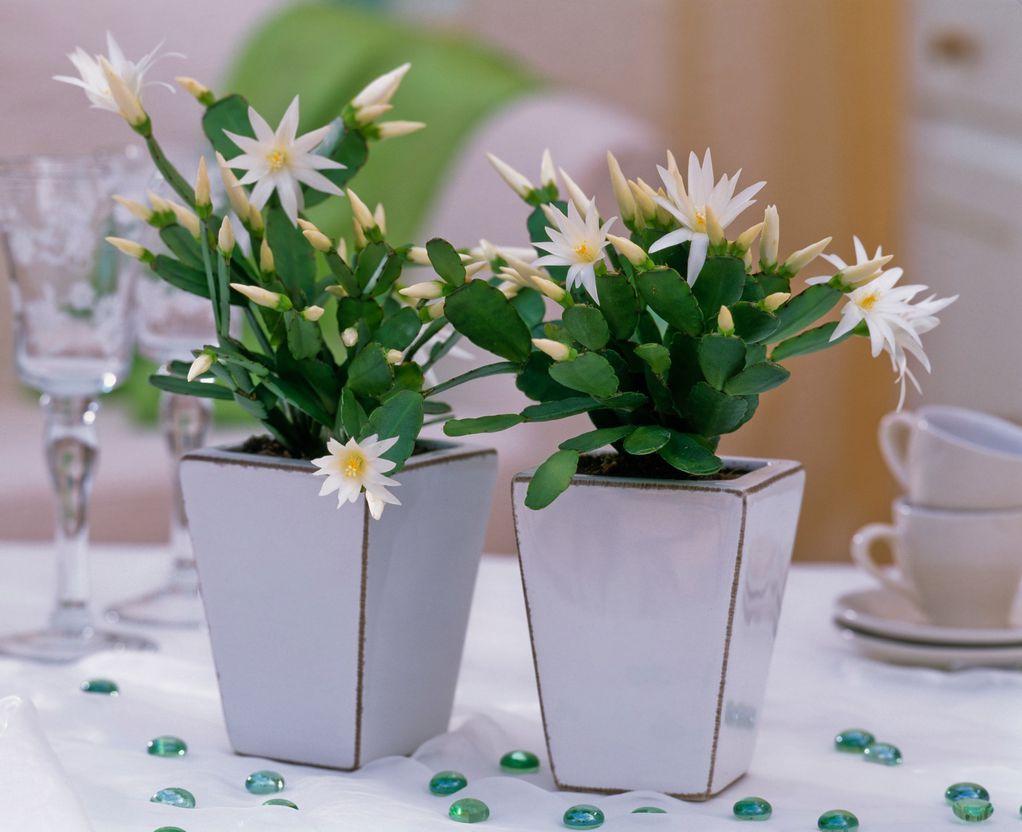 Велигденски кактус – пролетно растение што не бара грижа и внимание