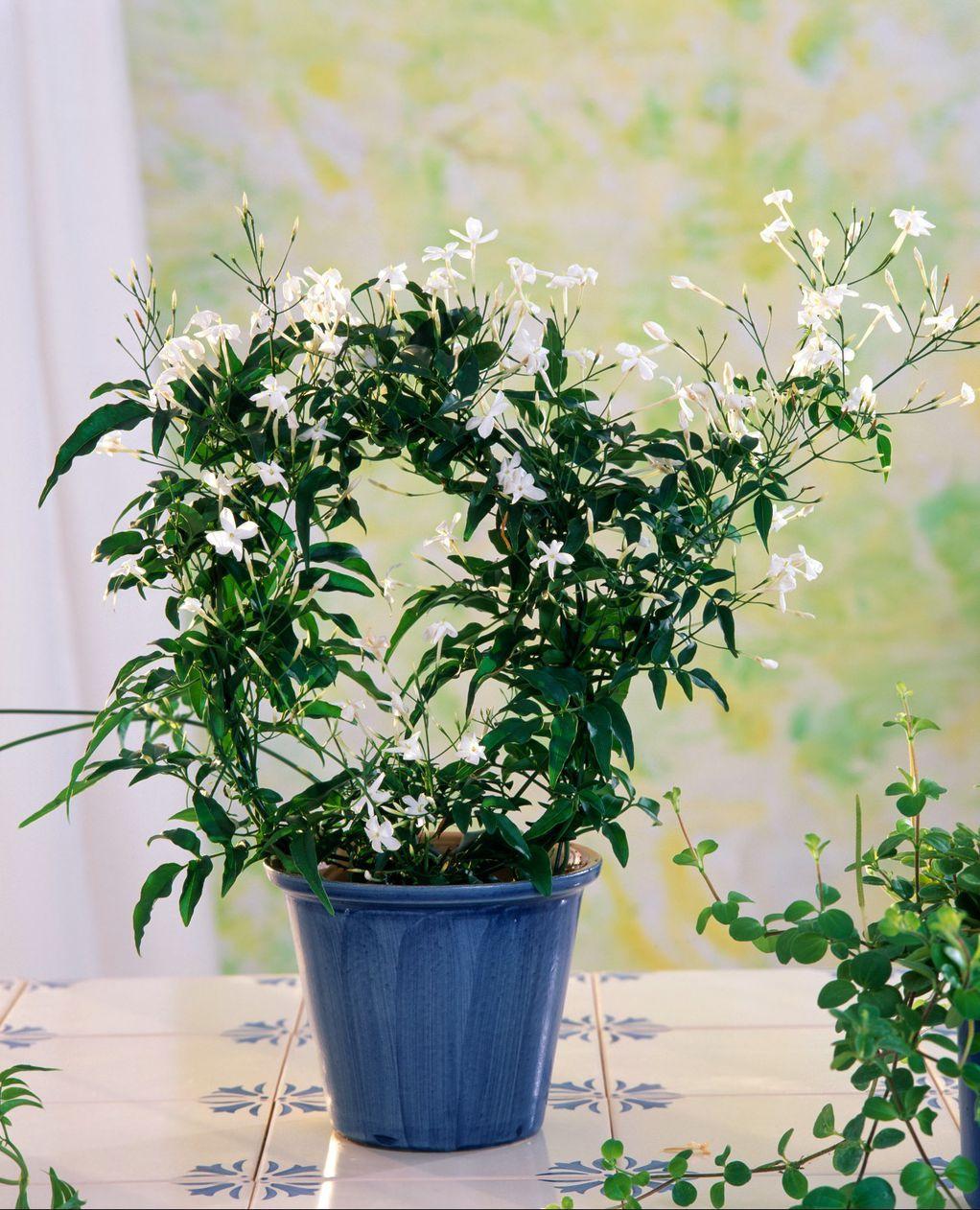 Бел јасмин: Издржлив цвет од кој ќе замириса целата просторија