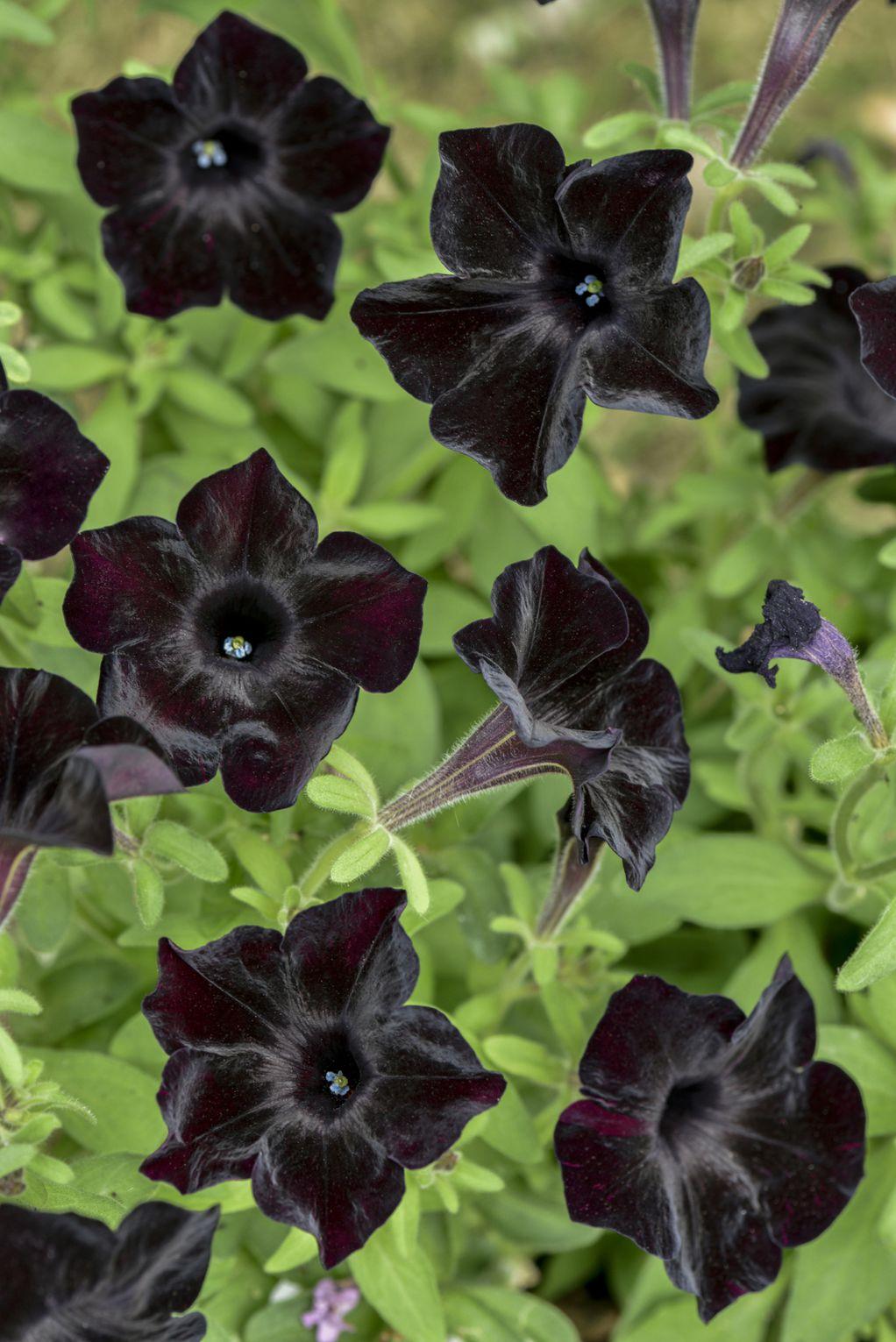 Црна петунија: Кадифено цвеќе што создава прекрасен контраст со разнобојни цвеќиња