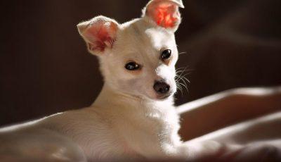 Овие раси кучиња повеќе сакаат да лежат на каучот отколку да бидат надвор