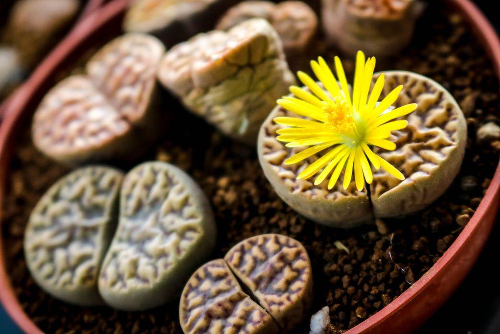 Литопи - прекрасни сукуленти што личат на украсни камчиња