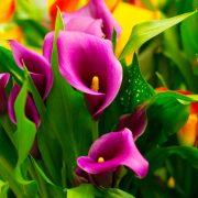 Потребни се 2 услови за да цветаат раскошно: Како се одгледуваат кали?