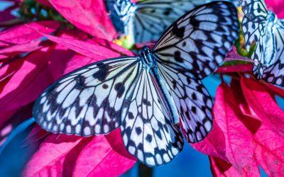 Шарена престолнина: Ова е најголемиот парк на пеперутки во светот