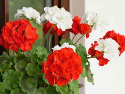 5 цвеќиња што се отпорни на високи температури и цветаат во текот на целото лето