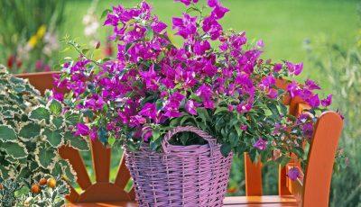 Бугенвилија: Цвет што носи атмосфера на море во секоја градина