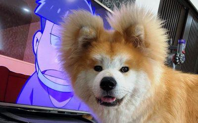 Запознајте го Боб - акита со срцевидно лице и бушави уши