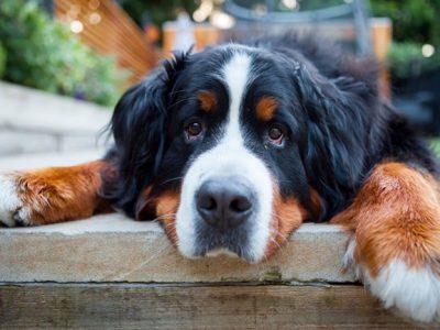 Големи раси кучиња што се само големи плишени мечиња