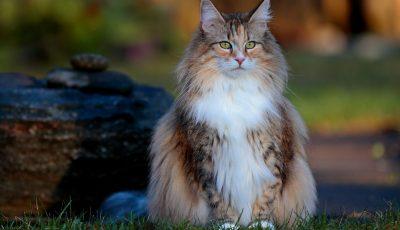Норвешка шумска мачка: Прекрасно милениче кое сака други мачки и кучиња