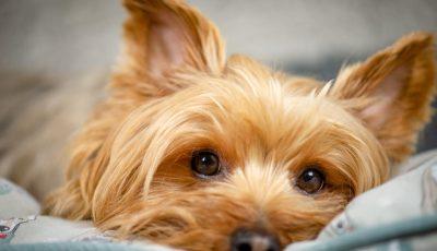 Дали знаете која е најпопуларната раса на куче во светот?