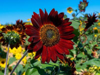 Чоколаден сончоглед: Прекрасен цвет со посебна убавина
